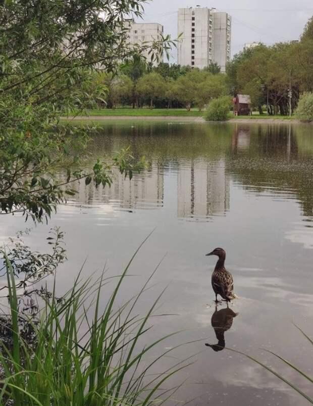 Фото дня: утка ходит по воде в Лианозовском парке