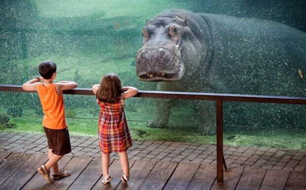 Бегемот устанавливает визуальный контакт с двумя посетителями зоопарка в Испании. Кажется, что бегемот замер, уставившись на детей, во время их посещения Биопарка в Валенсии. жизнь, интересные, фото