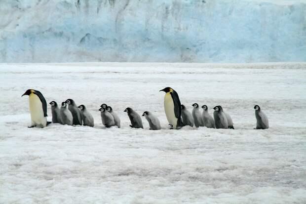 В Антарктиде за одну ночь исчезли тысячи птенцов пингвинов