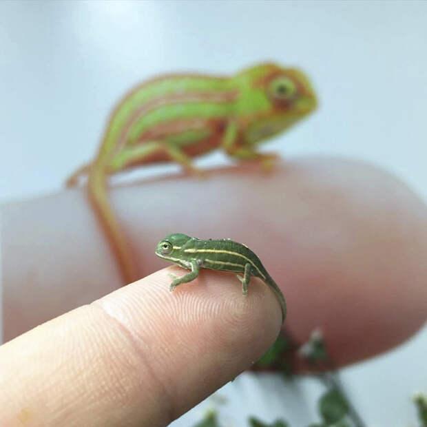 cute-baby-chameleons-5834a1a78b4ec__700