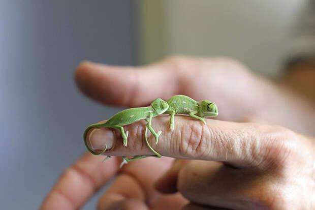 cute-baby-chameleons-582b8422628e8__700
