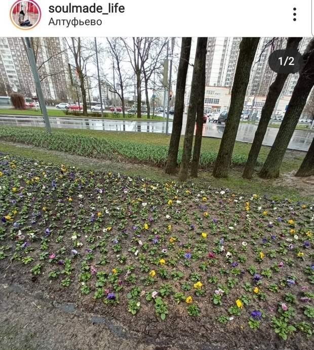 Фото: цветы у перекрёстка Алтуфьевки и Череповецкой