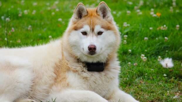 Кинолог призвал не стричь собак в жаркую погоду