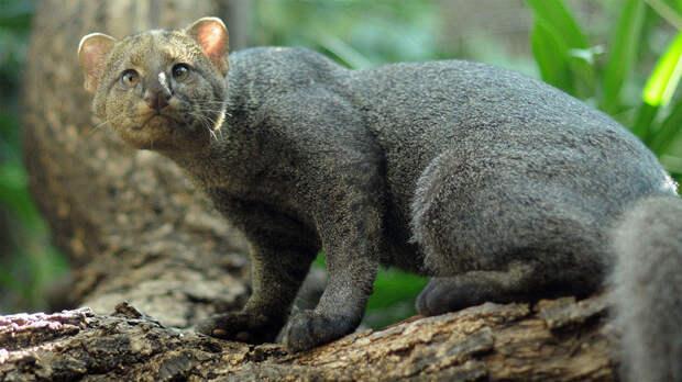 Ягуарунди дикие кошки, животные, кошки, природа