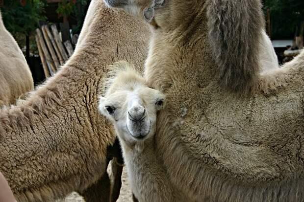 Верблюд: 8 особенностей из жизни «пустынных кочевников»