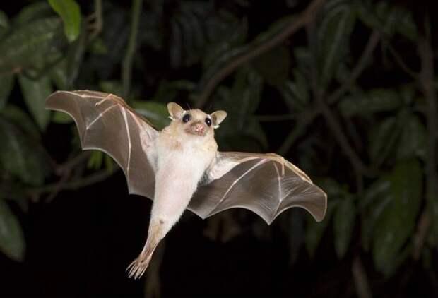 Dwarf-epauletted-fruit-bat