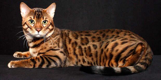 http://www.vancats.ru/images_7/Cat/Bengal_cat_4.jpg