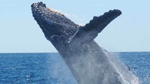 История проглоченного китом дайвера вызвала сомнения у врачей