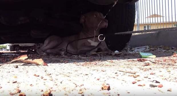 Питбуль, сбитый автомобилем, очень боялся спасателей