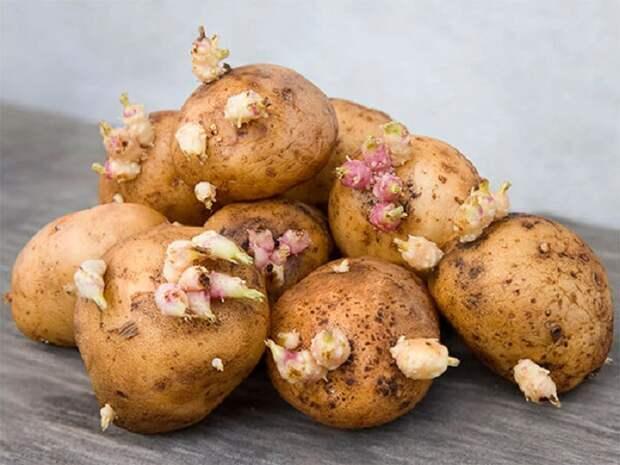 Проросший картофель - нередкая картина. / Фото: Kuban24.tv