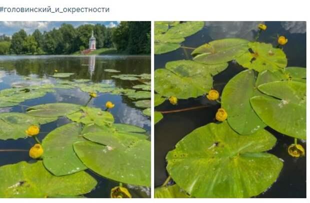 Фото дня: на Головинский прудах цветут кубышки