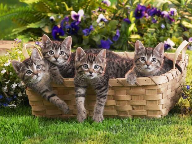 Animals_Cats_Small_cats_in_basket_020525_ (700x525, 132Kb)
