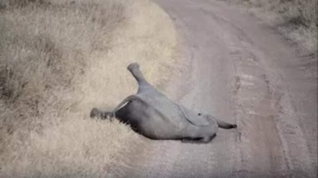 Маленький слоненок устал идти иустроил самую милую детскую истерику