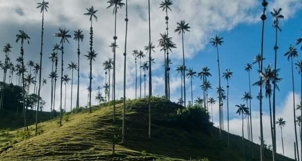 Киндиойские восковые пальмы — деревья, которые дотягиваются до небес