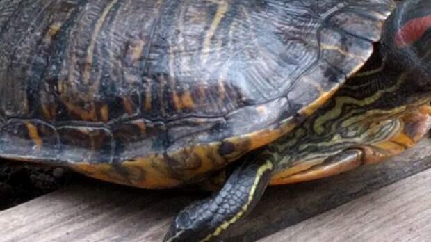 Несколько десятков черепах нашли мертвыми в озере под Воронежем