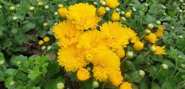Никитский сад готовится к Балу хризантем. Начали распускаться ранние сорта осеннего цветка