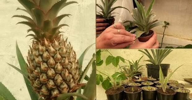 Вырастить и получить плоды ананаса в домашних условиях не так уж и сложно