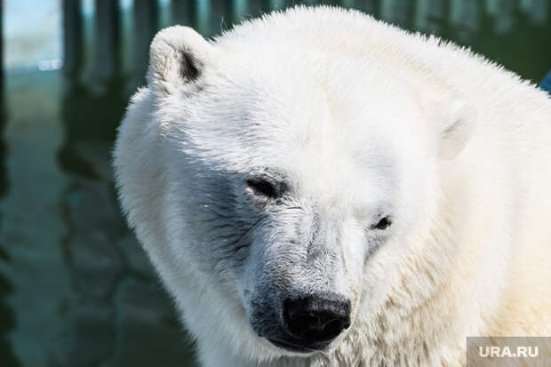 Прокуратура назвала причину смерти белого медведя вЕкатеринбурге