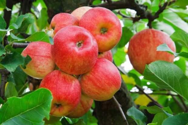 Стоит ли выращивать яблони сорт Уэлси?