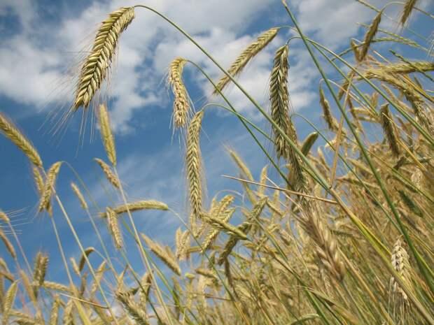Устойчивый к местному климату сорт пшеницы вывели в Удмуртии