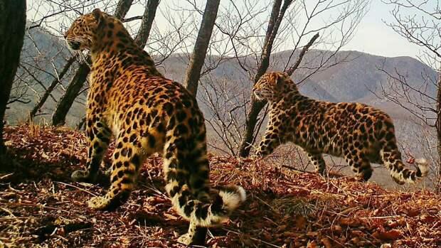 Число дальневосточных леопардов возросло до 110 особей за девять лет