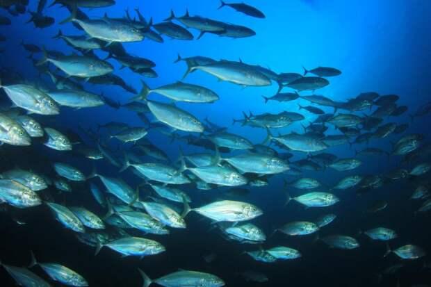 Климат-кризис ичрезмерное рыболовство представляют особую угрозу для крупной рыбы
