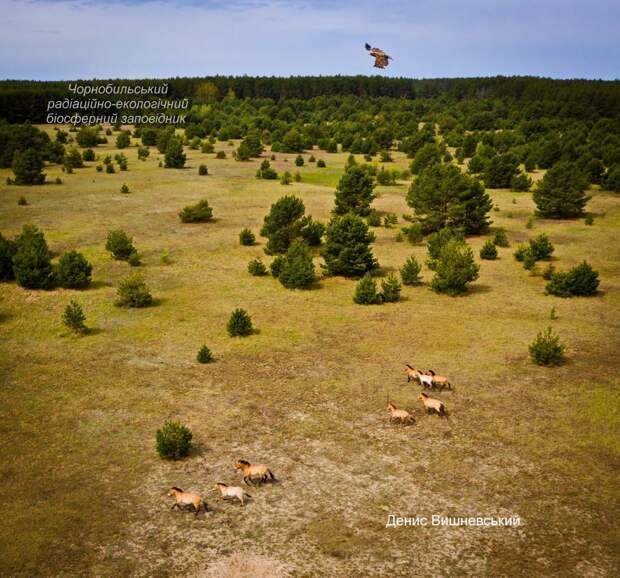 В Чернобыльском заповеднике показали редкое фото, как белохвостый орлан следит за лошадьми Пржевальского