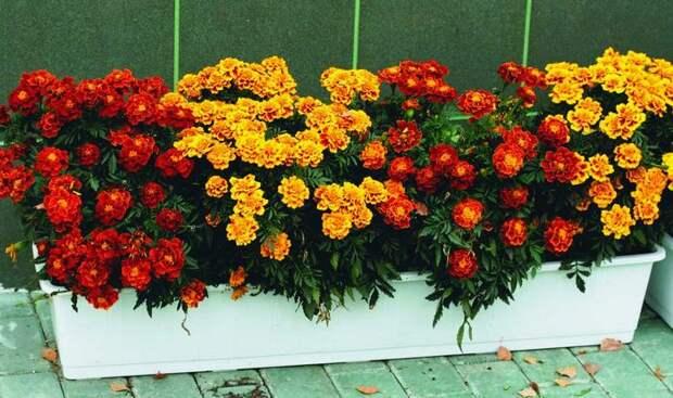 Бархатцы - очень красивые цветы