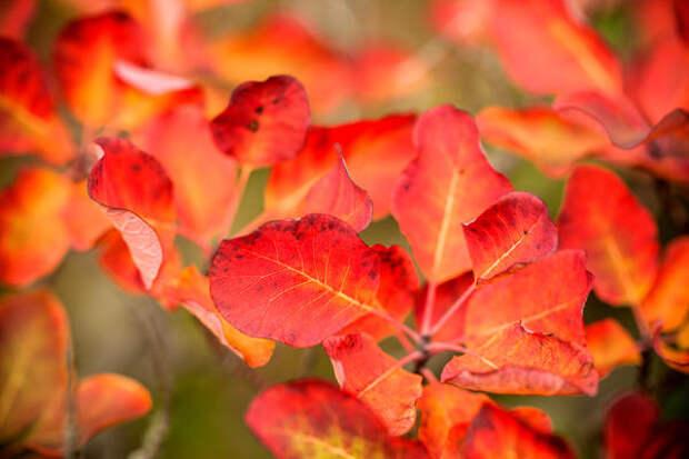 Листва скумпии осенью