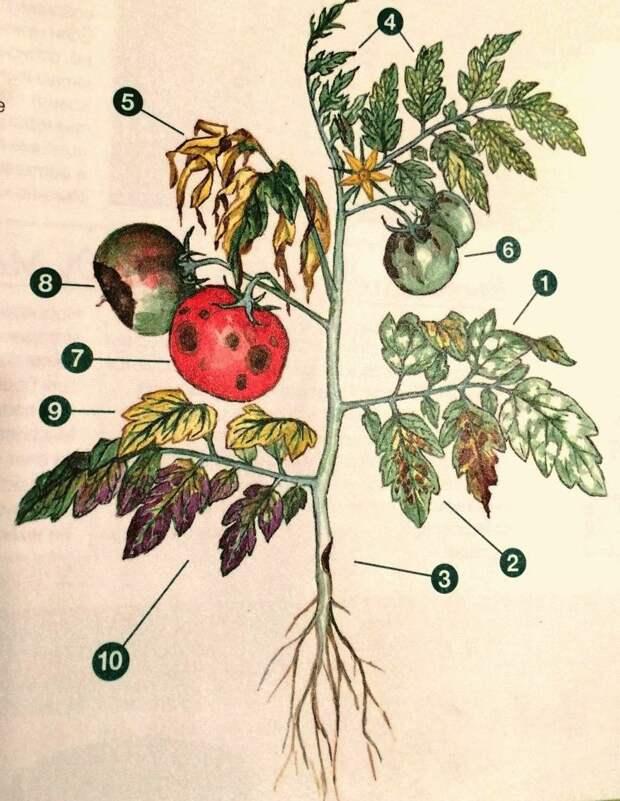Болезни томатов: как определить и чем лечить