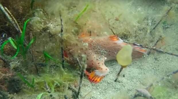 У побережья Тасмании засняли на видео очень редкую рыбу с ногами