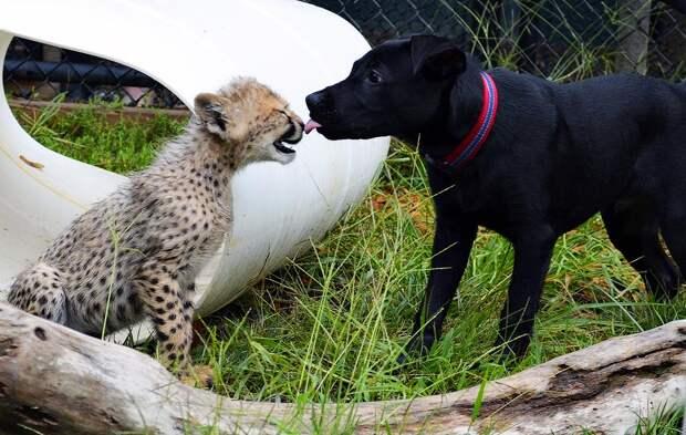 kissing Про дружбу кошек с собаками