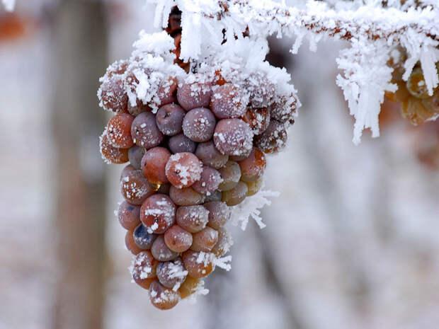 4 секрета северного винограда. Как вырастить плодоносящее растение