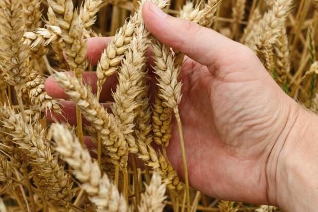 Урожай зерновых в России может оказаться под угрозой: заявление аграриев