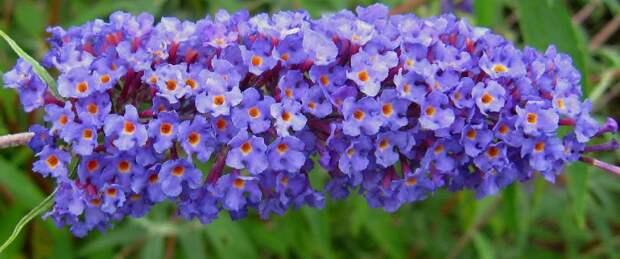 Цветок буддлея