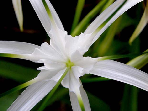 Фото - Привет.ру - Кринум маврикийский (Crinum mauritianu), - Экзотические растения мира - фотографии пользователя olia