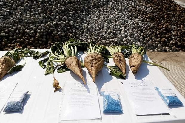 На Кубани началась уборка сахарной свеклы
