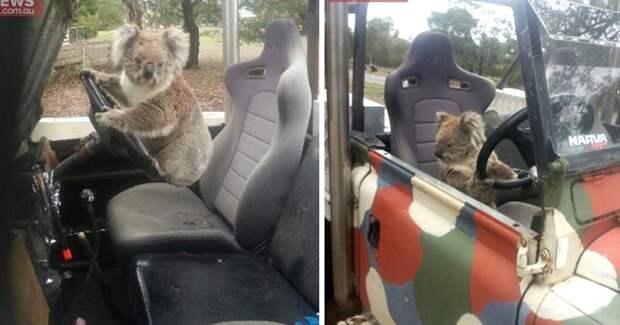 Это вам не Лада Седан Баклажан! Маленькая коала претендует на звание самого милого в мире угонщика ВНЕДОРОЖНИКА!