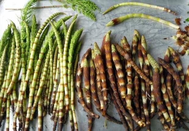 Молодые стебли хвоща для приготовления настоев и отваров, применяемых для защиты растений
