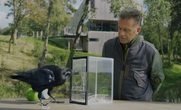 Видео: Насколько умны вороны — сможет ли Бран решить задачу из семи этапов