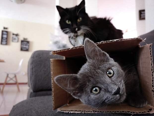 Исследование: коты любят сидеть не только в настоящих, но и в воображаемых коробках