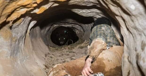 Биолог рискнул поменять батарейки на GPS-ошейнике медведя в зимней берлоге, но тот не спал