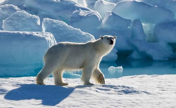 Чем питается белый медведь