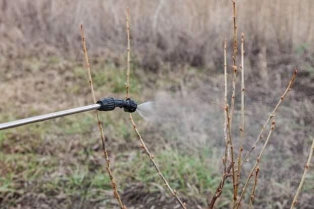 Опрыскивание смородины весной