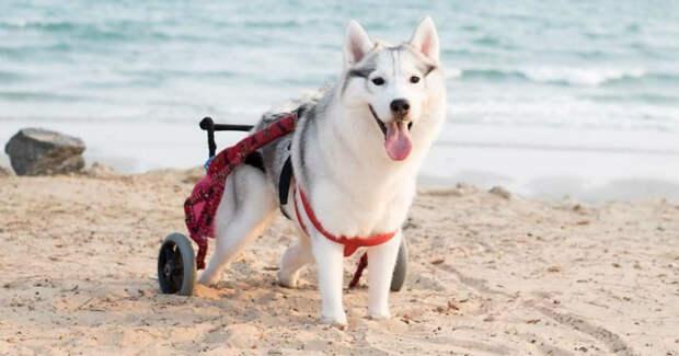 Родившаяся без лап хаски стала самой счастливой собакой в инвалидной коляске