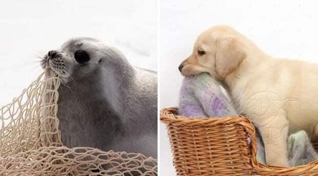 тюлени это собаки, тюлени щенки океана