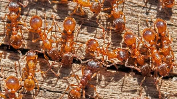 Муравьиный запах поможет созданию репеллента от пауков