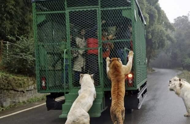 В зоопарке в Китае люди сидят в клетке, пока дикие животные на них смотрят