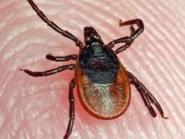В Забайкалье 247 человек пожаловались на укусы и присасывания клещей