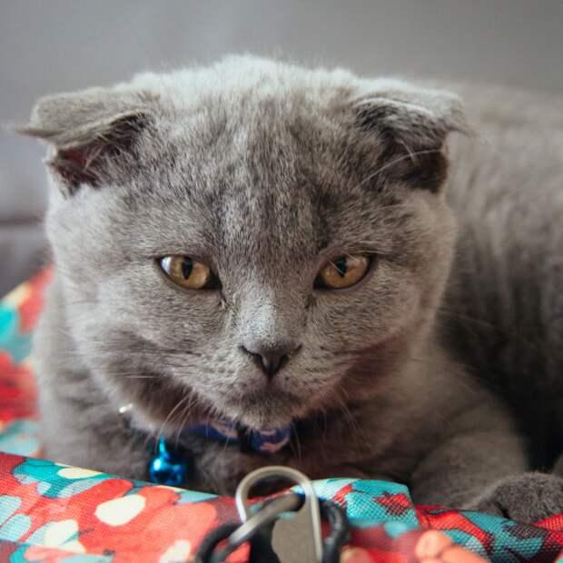 В Бельгии запретили разводить некоторые породы кошек. Шотландские вислоухие, бенгальские и саванны.